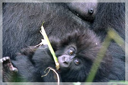 see a baby gorilla during your safari tour in Bwindi