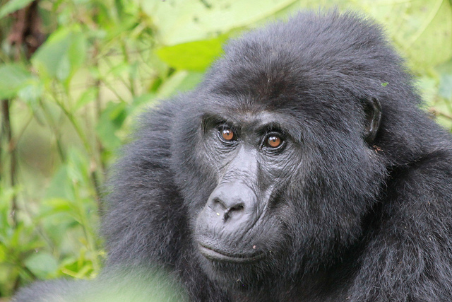 Gorilla tracking Safari bwindi
